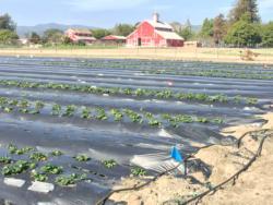 Measuring the Impact of Entomopathogenic Fungi on Strawberry Plant Health and Yield